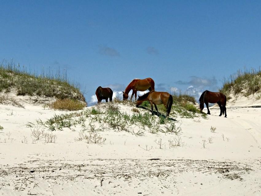 outer banks tours wild horse safari